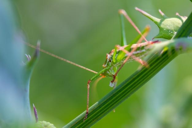 Grüne heuschrecke sitzt im gras