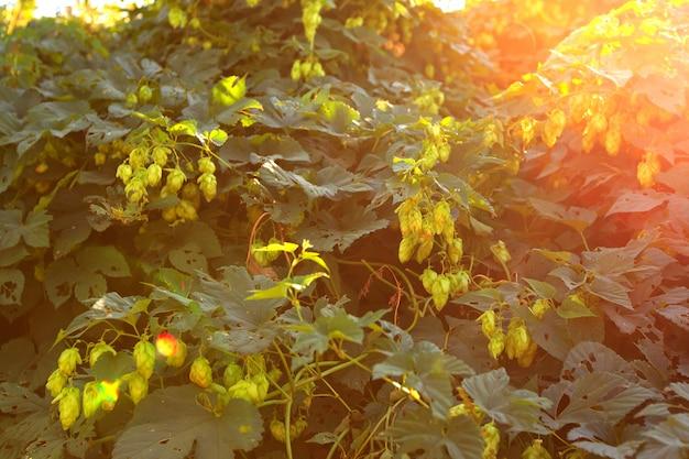 Grüne hopfen auf einer anlage am sonnigen tag