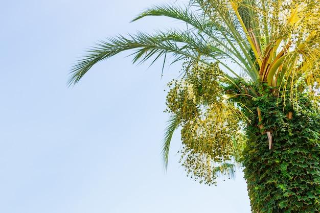 Grüne junge daten an einer palme gegen blauen himmel. nahansicht
