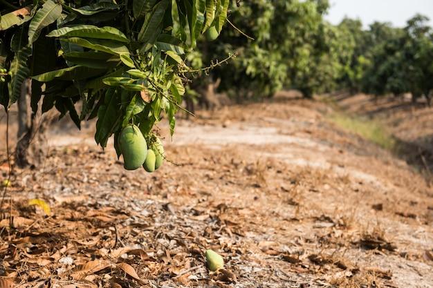 Grüne junge mangos in der farm bei der ernte