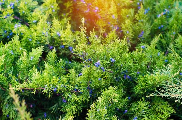 Grüne junge wacholderbuschniederlassungen schließen oben. hintergrund mit wacholderzweigen. wacholderbeeren.