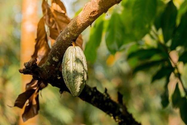 Grüne kakaoschoten wachsen am baum