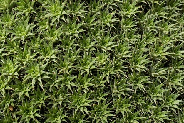 Grüne kakteen und sukkulenten selektiver fokus close up grüner hintergrund des kaktus