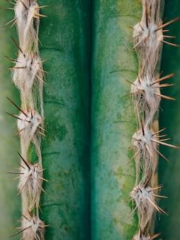 Grüne kaktus pachycereus marginatus nahaufnahme