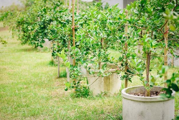 Grüne kalke auf einem baum, der im zementrohr pflanzt. hohes vitamin c der frischen kalkzitrusfrucht im gartenbauernhof.