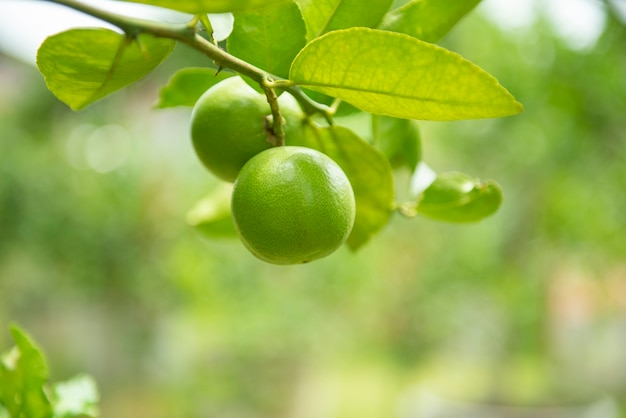Grüne kalke auf einem baum - hohes vitamin c der frischen kalkzitrusfrucht im gartenbauernhof landwirtschaftlich mit naturgrün am sommer