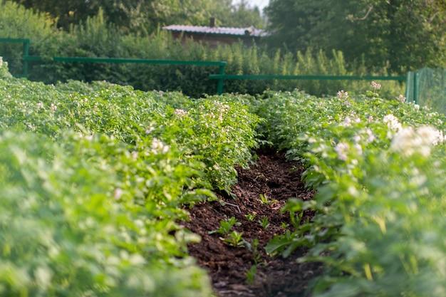 Grüne kartoffelbüsche in einer reihe im garten kartoffelanbau gepflanzt