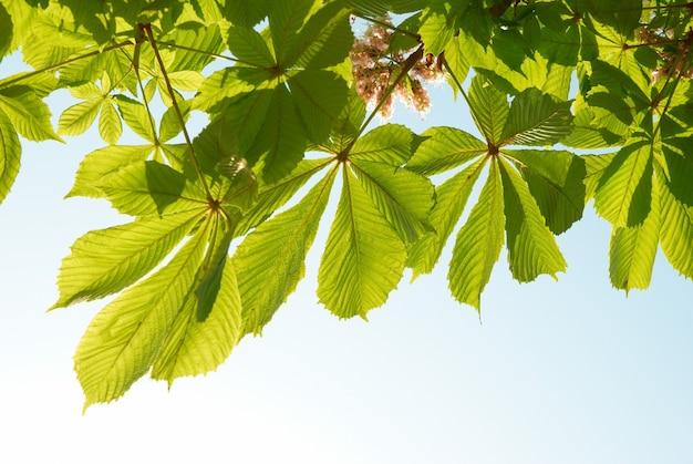 Grüne kastanienblätter mit sonnigem blauem himmel.