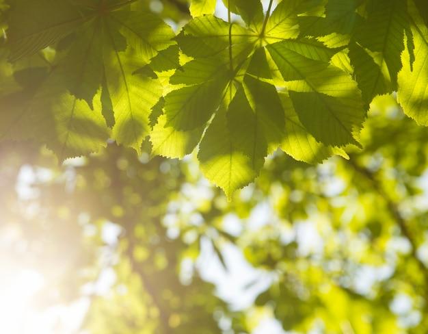 Grüne kastanienblätter