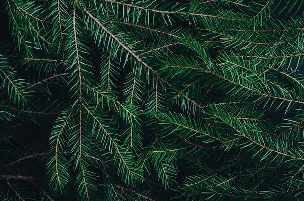 Grüne kiefer, tannenzweige schließen hintergrund.