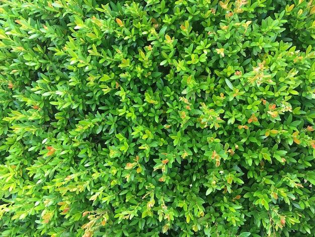 Grüne kirschblätter