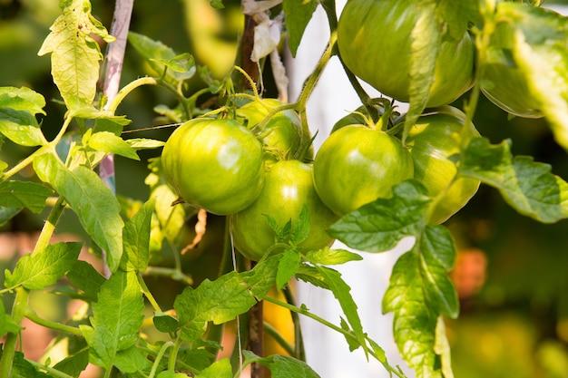 Grüne kirschtomaten, die im garten wachsen