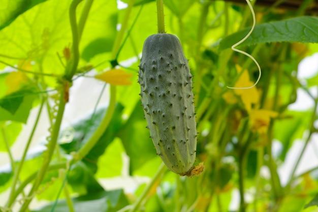 Grüne kleine gurke auf einem busch mit blättern. wachsende ernten in einem gewächshaus