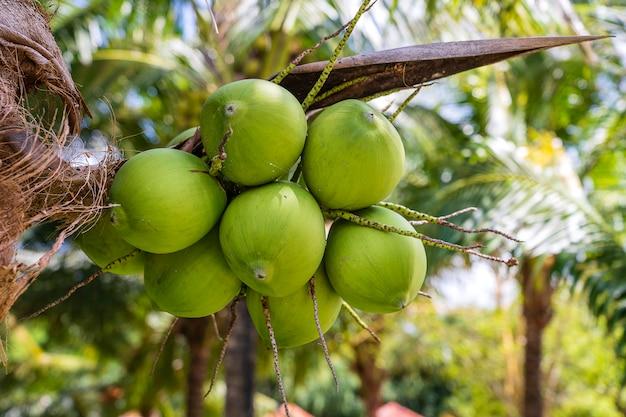 Grüne kokosnüsse auf palmen an einem tropischen strand auf der insel phu quoc, vietnam. reise- und naturkonzept