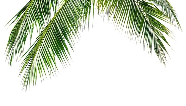 Grüne kokospalmenblätter isolieren auf weißem hintergrund