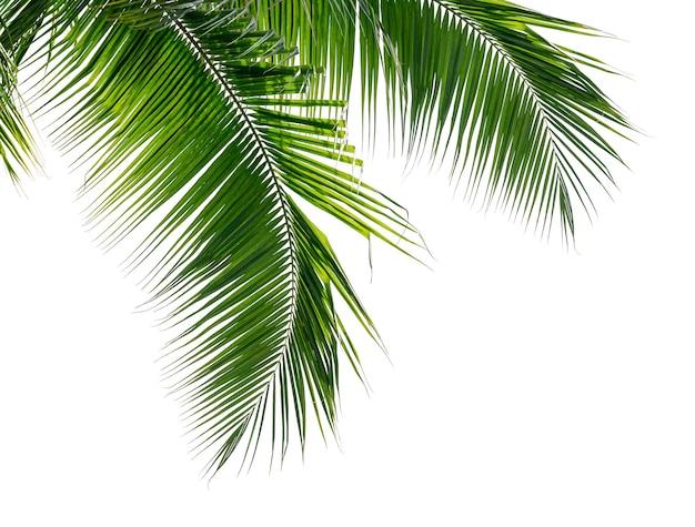 Grüne kokospalmenblätter isolieren auf weißer oberfläche