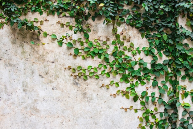 Grüne kriechpflanze auf schönem hintergrund der zementwand