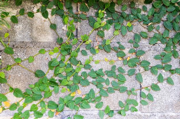 Grüne kriechpflanze auf zementwand
