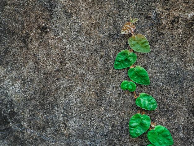 Grüne kriechpflanzenbaumanlage auf alter wand, kleiner baum auf der alten wand