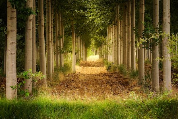 Grüne landschaft der bäume in der perspektive, die einen vegetationstunnel bildet.