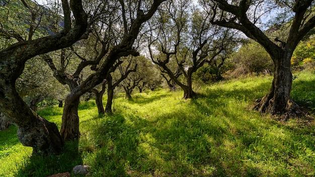 Grüne landschaft mit olivenbäumen, grünem gras und sonnenlicht, das zwischen den ästen eindringt