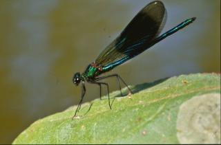Grüne libelle fliegen