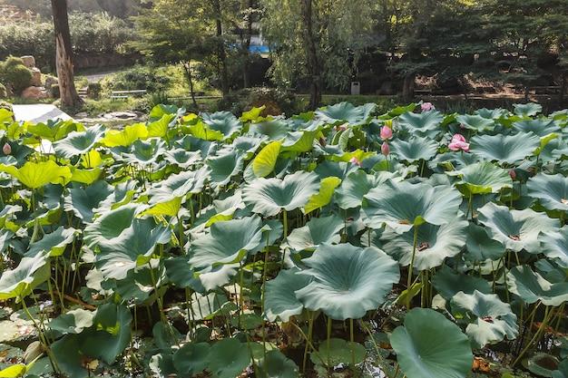Grüne lotusblätter im central park von pyongyang city moranbong park pyongyang nordkorea