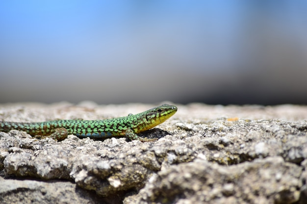 Grüne männliche maltesische mauereidechse, podarcis filfolensis maltensis, die sich an einer wand aalt