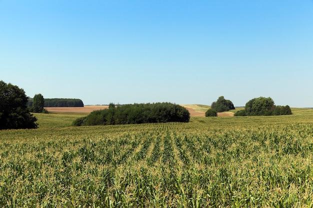 Grüne maisblätter, die auf dem gebiet des landwirtschaftlichen feldes wachsen