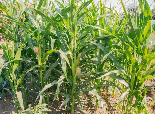 Grüne maisblätter. ohren von jungem mais. landwirtschaft und landwirtschaft. vegetarismus und gesunde ernährung.