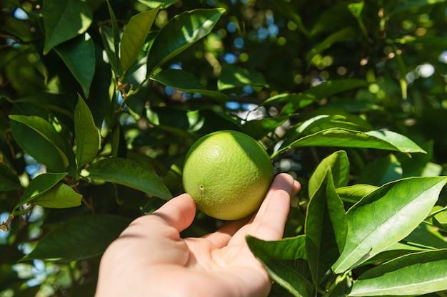 Grüne mandarinen wachsen auf einem baum, nah oben.