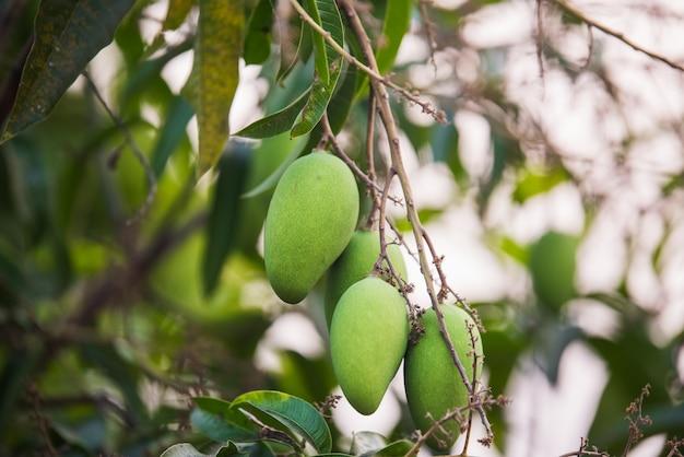 Grüne mango auf dem baum