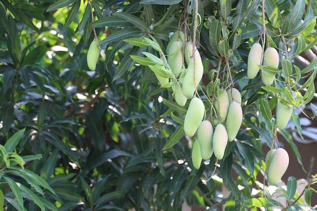 Grüne mango, die noch nicht reif ist.