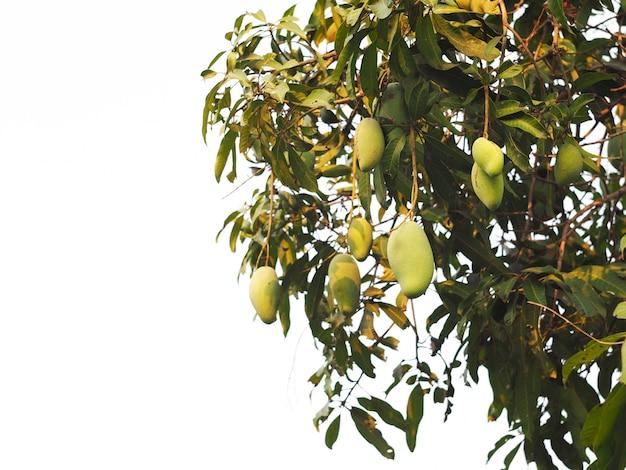 Grüne mangofrüchte, die am baumast lokalisiert hängen.