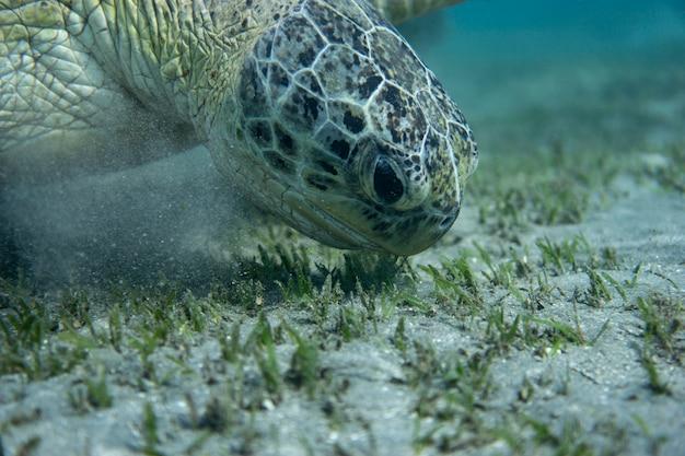 Grüne meeresschildkröte am grund des meeres