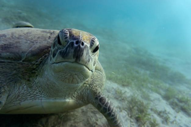 Grüne meeresschildkröte oder (chelonia mydas) am meeresgrund.