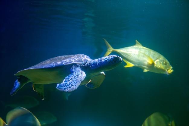 Grüne meeresschildkröte schwimmt im meer