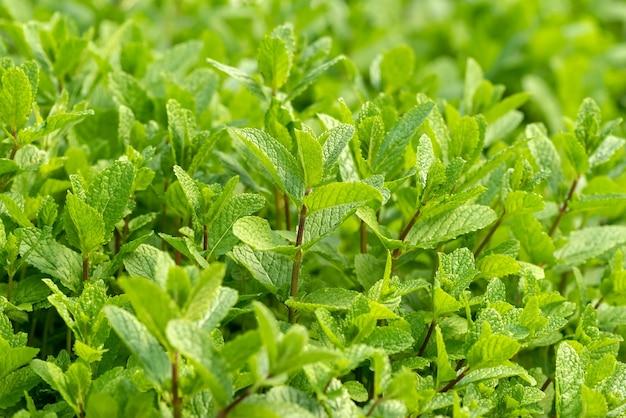 Grüne minze im wachstum im gemüsegarten