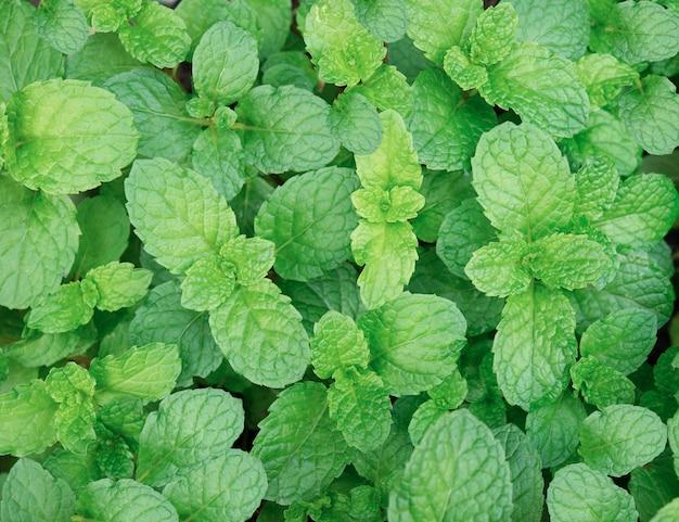 Grüne minze pflanze wachsen hintergrund. minzblätter für die gesundheit aromatherapie.