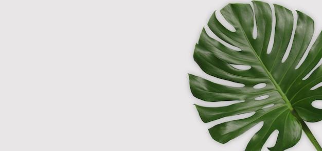 Grüne monstera-blätter auf grauem hintergrund und haben kopienraum für das design in ihrer arbeit.