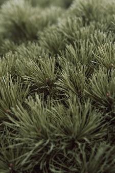 Grüne nadeln eines nadelbaums