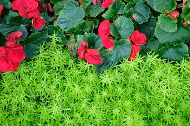 Grüne natürliche blattpflanze & rote begonienblume