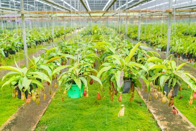 Grüne nepenthes feld, die auch als tropischen kannenpflanzen bekannt o