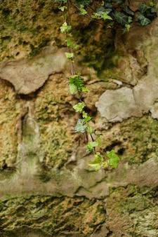 Grüne niederlassung des efeus wachsend auf dem stein