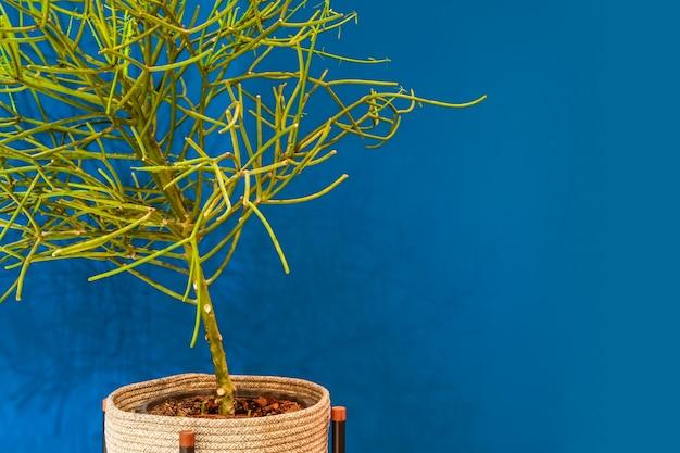 Grüne niederlassungen des bleistiftkaktusbaums in einem topf innerhalb des weidenkorbes mit blauer wand.