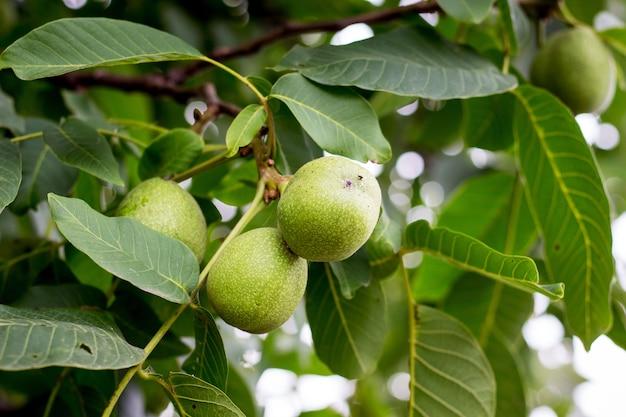 Grüne nüsse greifen auf den baum. gesunde walnüsse