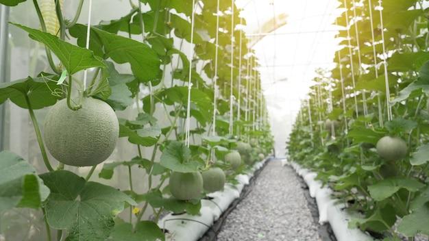 Grüne organische kantalupenmelone, die im gewächshausbauernhof wächst.