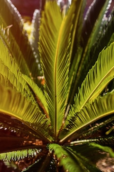 Grüne palmenbüsche im sonnenuntergangsonnenlicht. hintergrund