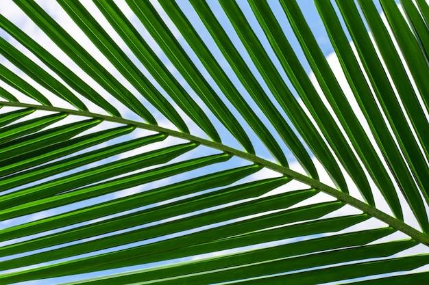 Grüne palmkokosnussblätter und ein blauer himmel.