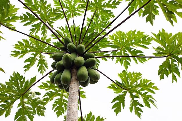 Grüne papayas auf dem baum im garten Premium Fotos